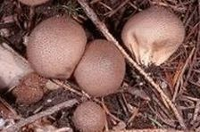 Impermeable apestoso (Lycoperdon nigrescens)